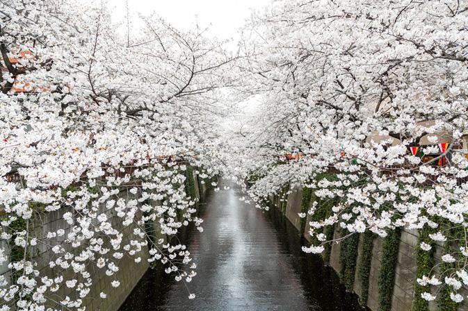 目黒川の花見