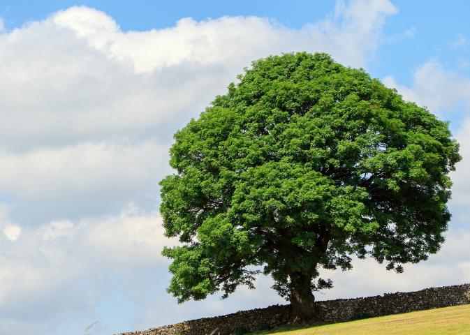 とな素材写真「大きな木」